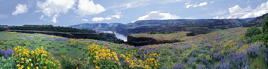 Balsam Root in the Columbia Gorge