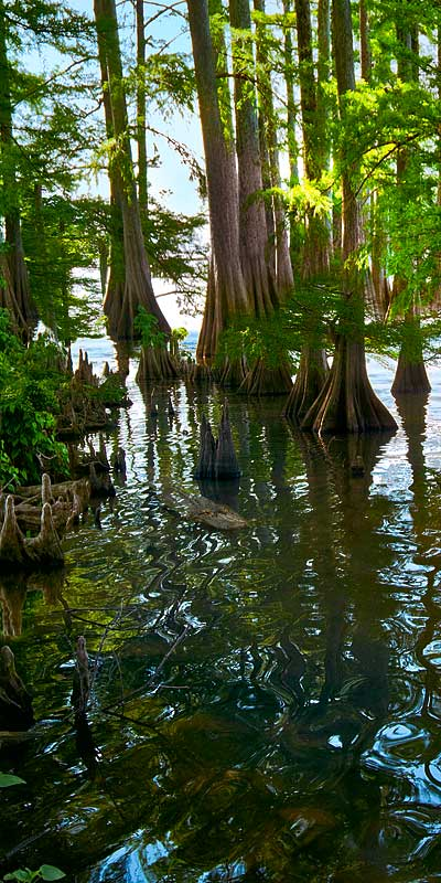 Cypress Trees in Lake Providence, Louisiana; Left