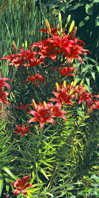 Vertical Panorama - Red Lilies in Oregon Garden