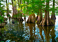 Cypress trees from Louisiana